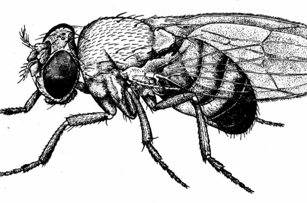 Fruit fly Drosophila