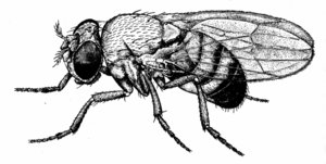 Fruit fly Drosophila