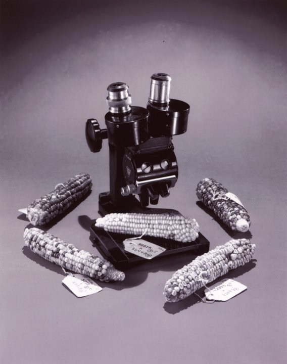 Photograph of Barbara McClintock's five ears of corn