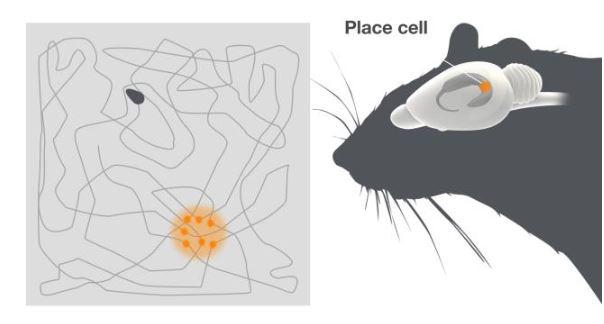 Place cells