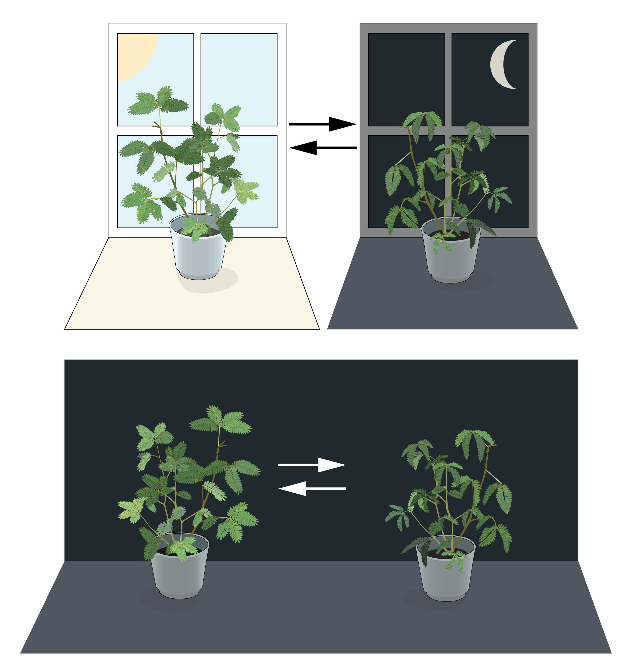 Mimosa plants