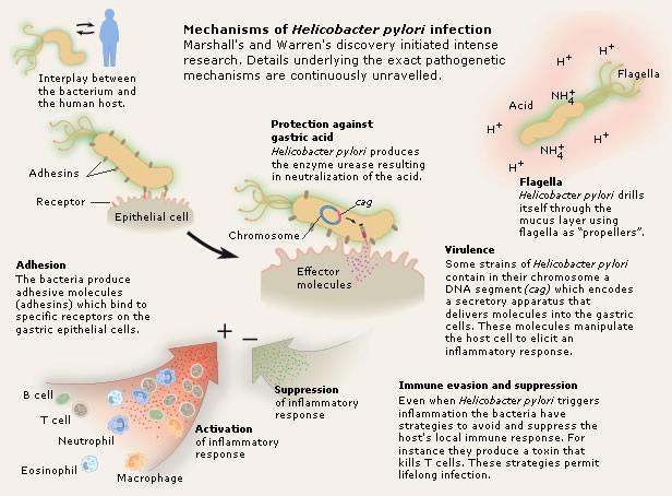 Mechanism of Heliobacter pylori infection