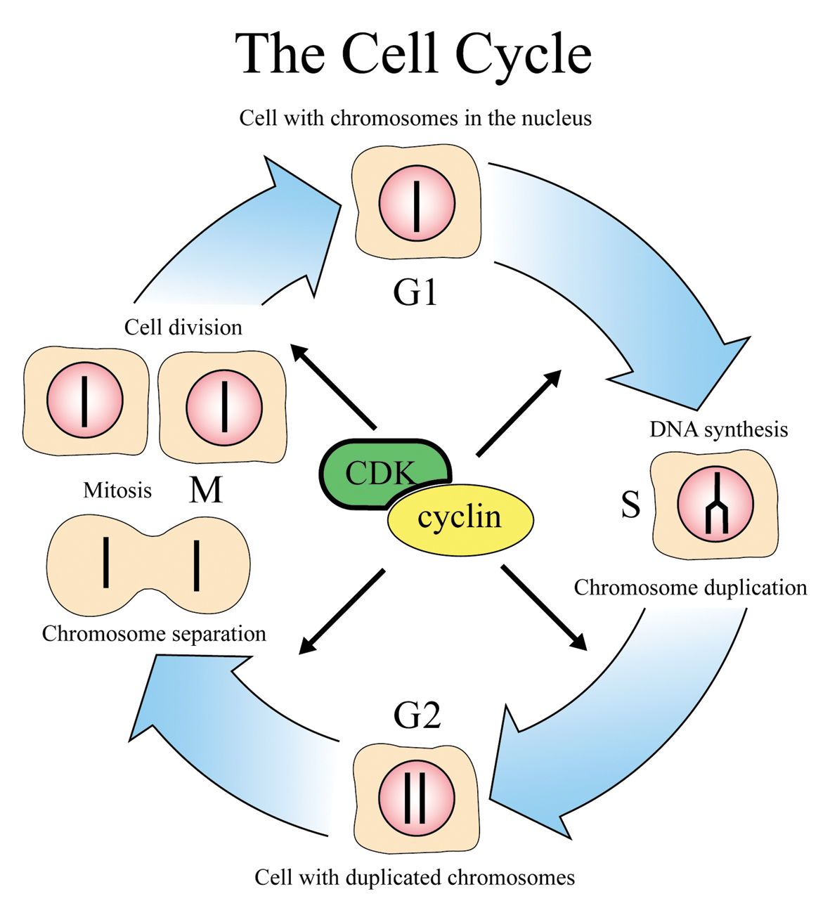 cell cycle, english version