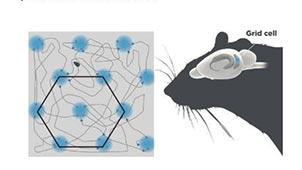 Grid cells. Ill. Mattias Karlen/The Nobel Assembly at Karolinska Institutet