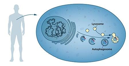 Autophagosome.