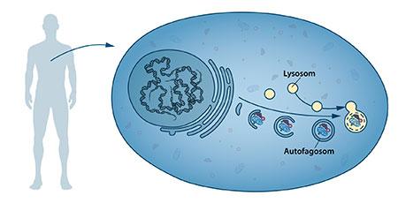 Autofagosomer.