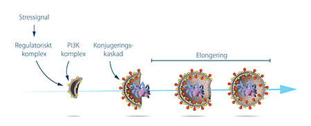 Proteinkomplex formar stegvis auto-fagosomens membran