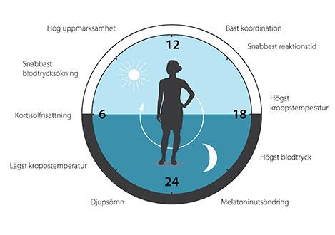 Den cirkadiska klockan