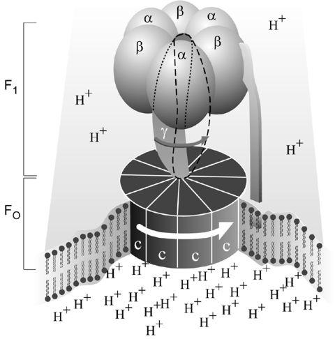 En förenklad bild av ATP-syntas.