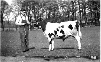 Tethered to a young Ayrshire bull c. 1959.