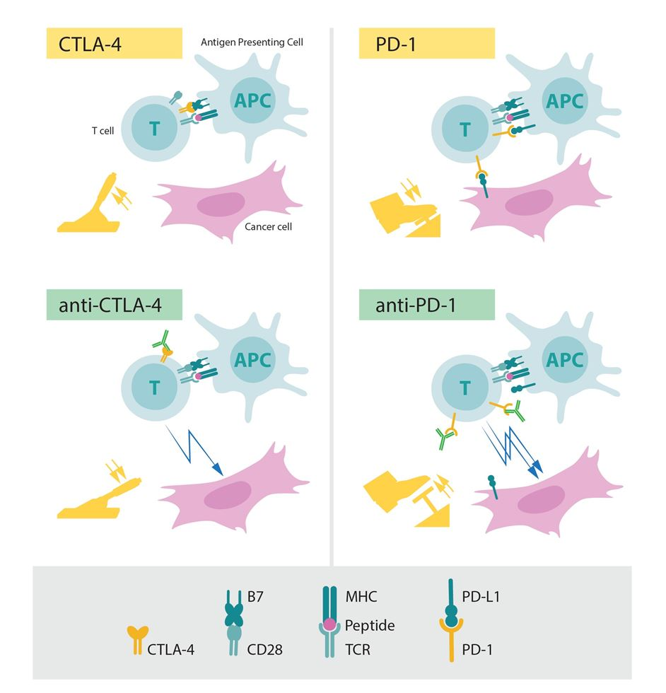The role of CTLA-­4 and PD-­1 as inhibitors of activation