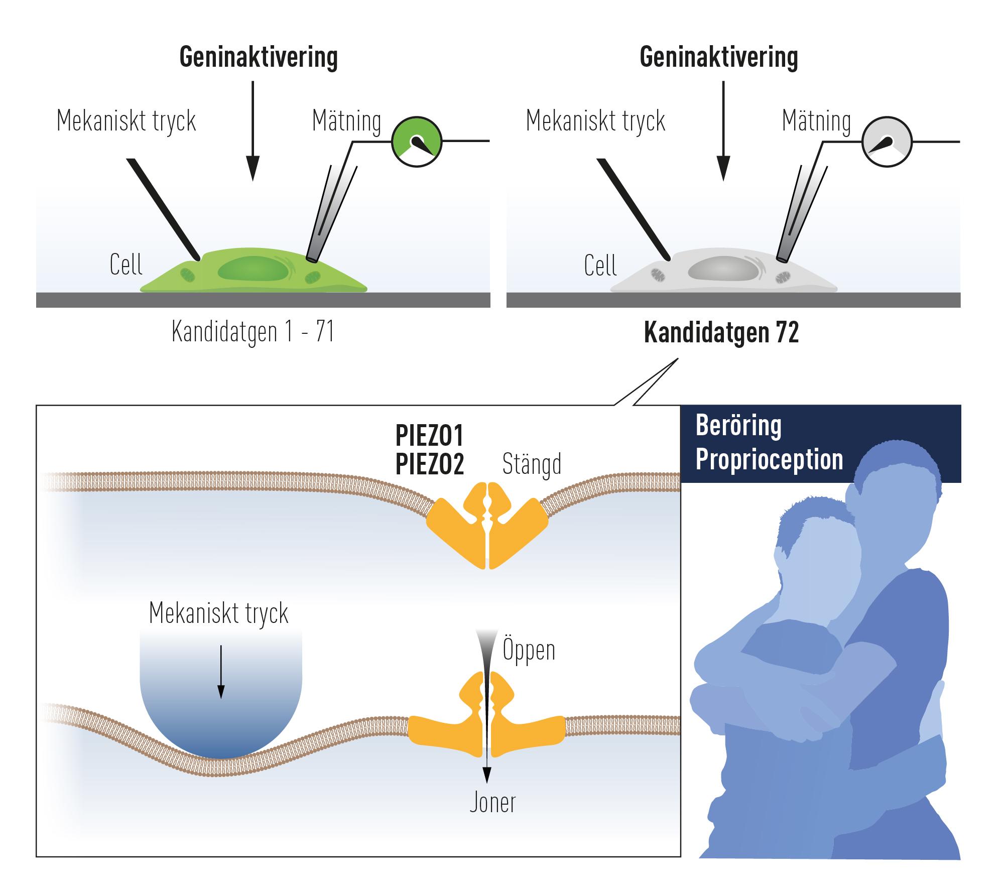 Tryckkänsliga celler